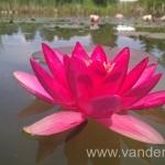 Ryškiai raudona vandens lelija Escarboucle 01
