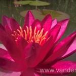 Ryškiai raudona vandens lelija Escarboucle 09