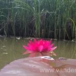 Ryškiai raudona vandens lelija Escarboucle 16
