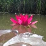 Ryškiai raudona vandens lelija Escarboucle 17