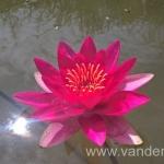 Ryškiai raudona vandens lelija Escarboucle 22