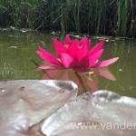Ryškiai raudona vandens lelija Escarboucle 26