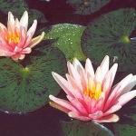 miniatiurine vandens lelija little sue