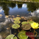 "Dvispalvė-vandens-lelija-""Wanvisa""-Nymphaea-Waterlily-15"