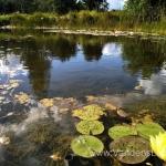 "Dvispalvė-vandens-lelija-""Wanvisa""-Nymphaea-Waterlily-16"