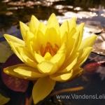 "Dvispalvė-vandens-lelija-""Wanvisa""-Nymphaea-Waterlily-21"