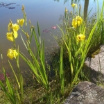 geltonas-vilkdalgis_2016-05-28 09.06.59