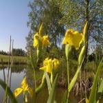 geltonas-vilkdalgis_2016-05-28 09.12.06