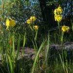 geltonas-vilkdalgis_2016-05-28 09.12.54