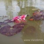 Liucida-Water-lily-žvaigždiška-ryškiai-rožinė-vandens-lelija-000