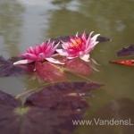 Liucida-Water-lily-žvaigždiška-ryškiai-rožinė-vandens-lelija-001