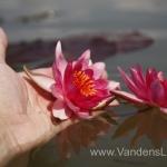 Liucida-Water-lily-žvaigždiška-ryškiai-rožinė-vandens-lelija-002