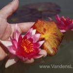 Liucida-Water-lily-žvaigždiška-ryškiai-rožinė-vandens-lelija-003