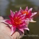 Liucida-Water-lily-žvaigždiška-ryškiai-rožinė-vandens-lelija-004