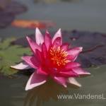 Liucida-Water-lily-žvaigždiška-ryškiai-rožinė-vandens-lelija-005