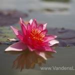 Liucida-Water-lily-žvaigždiška-ryškiai-rožinė-vandens-lelija-006