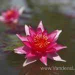 Liucida-Water-lily-žvaigždiška-ryškiai-rožinė-vandens-lelija-007