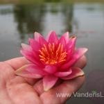 Liucida-Water-lily-žvaigždiška-ryškiai-rožinė-vandens-lelija-010
