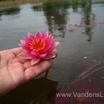 Liucida-Water-lily-žvaigždiška-ryškiai-rožinė-vandens-lelija-011