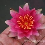 Liucida-Water-lily-žvaigždiška-ryškiai-rožinė-vandens-lelija-012