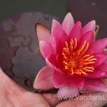 Liucida-Water-lily-žvaigždiška-ryškiai-rožinė-vandens-lelija-013