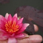 Liucida-Water-lily-žvaigždiška-ryškiai-rožinė-vandens-lelija-014