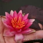 Liucida-Water-lily-žvaigždiška-ryškiai-rožinė-vandens-lelija-015