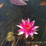Liucida-Water-lily-žvaigždiška-ryškiai-rožinė-vandens-lelija-023