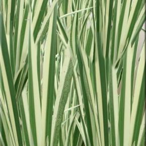 ajeras margalapis variegatus 1