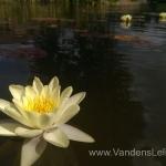Geltona vandens lelija (Yellow Water lily) Nymphaea 'Moorei' 02