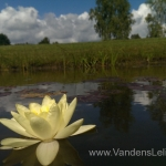 Geltona vandens lelija (Yellow Water lily) Nymphaea 'Moorei' 07