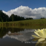 Geltona vandens lelija (Yellow Water lily) Nymphaea 'Moorei' 08