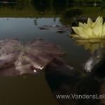 Geltona vandens lelija (Yellow Water lily) Nymphaea 'Moorei' 11