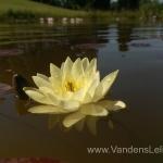Geltona vandens lelija (Yellow Water lily) Nymphaea 'Moorei' 12