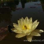 Geltona vandens lelija (Yellow Water lily) Nymphaea 'Moorei' 13