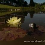 Geltona vandens lelija (Yellow Water lily) Nymphaea 'Moorei' 15