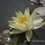 Geltona vandens lelija (Yellow Water lily) Nymphaea 'Moorei' 19
