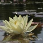 Geltona vandens lelija (Yellow Water lily) Nymphaea 'Moorei' 20