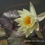 Geltona vandens lelija (Yellow Water lily) Nymphaea 'Moorei' 21