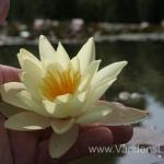 Geltona vandens lelija (Yellow Water lily) Nymphaea 'Moorei' 22