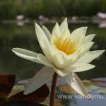 Geltona vandens lelija (Yellow Water lily) Nymphaea 'Moorei' 24