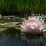vandens-lelija-Pink_11