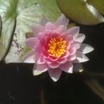 vandens-lelija-Pink_12