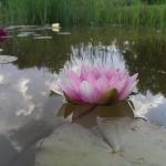 vandens-lelija_nymphaea-pink_73