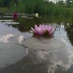 vandens-lelija_nymphaea-pink_75