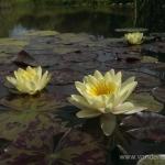 Geltona vandens lelija (Water lily) 'Nymphaea Yellow' 02