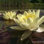 Geltona vandens lelija (Water lily) 'Nymphaea Yellow' 03