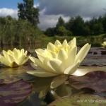 Geltona vandens lelija (Water lily) 'Nymphaea Yellow' 04