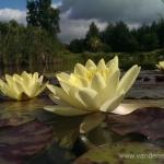 Geltona vandens lelija (Water lily) 'Nymphaea Yellow' 05