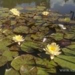 Geltona vandens lelija (Water lily) 'Nymphaea Yellow' 07